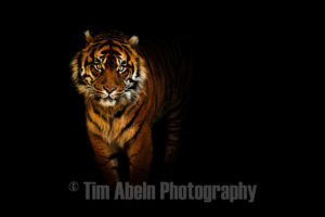 Tiger on Black by Tim Abeln Photography and Digital Art Prints. Beautiful wall decoration for your home and office. Limited time Promotion.