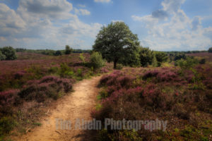 Heath landscape with purple heather flowers by Tim Abeln Photography and Digital Art Prints. Beautiful wall decoration for your home and office. Limited time Promotion.