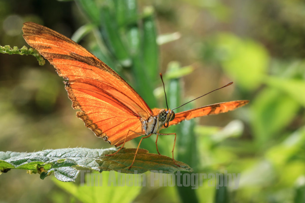 Julia Butterfly by Tim Abeln Photography and Digital Art Prints. Beautiful wall decoration for your home and office.