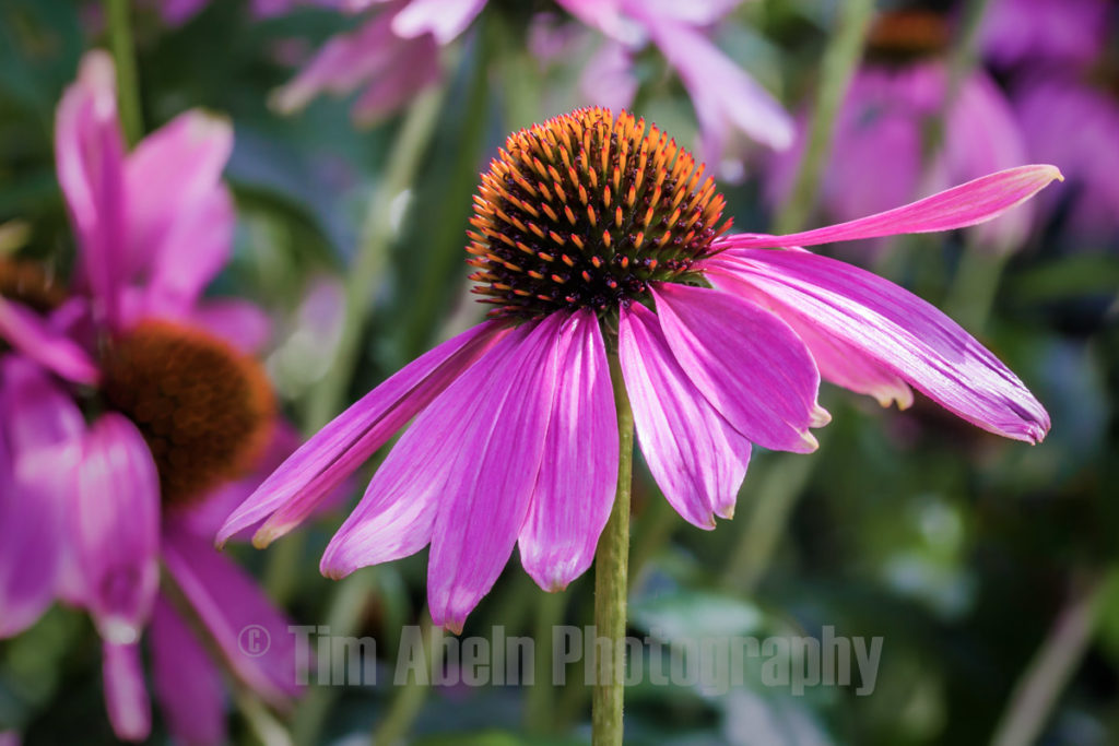 Eastern Purple Coneflower by Tim Abeln Photography and Digital Art Prints. Beautiful wall decoration for your home and office.