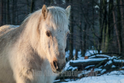 These horses live free on the Posbank, a national park in the Netherlands.