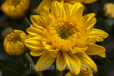 The name chrysanthemum is derived from the ancient greek words chrysos (gold) and anthemon (flower).