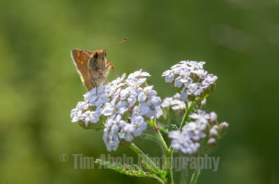 This large skipper butterfly patiently posed on the beautiful white flowers. The world of macro photography is amazing! The tiniest bugs that normally never get noticed turn out to be magnificent greaters with huge eyes, fury bodies and strange looking appearances.