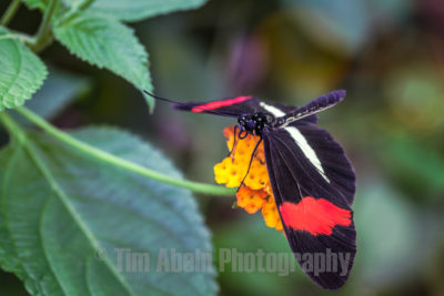 "The Heliconius erato is called ""The Small Postman"" in England because of its colors black, red and yellow.  The Heliconius erato is often confused with his brother: the Heliconius melpomene. Both butterflies have the same colors, a similar wing pattern and even the butterflies look like each other! The butterflies doll explain which Heliconia species they are. The Heliconius Erato doll has two nasty protrusions, and the pop of the Heliconius melpomene does not have this."
