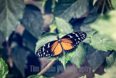 One day, a man was walking down a path when he spotted a butterfly cocoon that was about to open. As he watched, a small opening appeared in the cocoon, so he sat and watched the butterfly for several hours as it struggled to force its body through the little hole. Suddenly, it seemed to stop making progress. It appeared as if it had gotten as far as it could and could not go any further. So the man decided to help the butterfly. He took a pair of scissors and opened te cocoon. The butterfly then emerged easily, but it had a tiny, withered body and its wings were shriveled. The man continued to watch because he expected that, at any moment, the wings would open and expand, and be able to support the butterfly's body. To his disappointment neither happened. In fact, the butterfly spent the rest of its life crawling around with a withered body and shriveled wings. It was never able to take flight. What the man did not understand is that the restrictive cocoon and the struggle required for the butterfly to get through the tiny opening, were nature's way of forcing strength from the butterfly's body into its wings, so that it would be ready for flight once it freed itself from the cocoon. Sometimes, struggles are exactly what we need in our lives. If we were allowed to go through life without obstacles, it would probably cripple us. We would not be as strong as we could have been - never able to fly.
